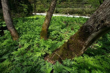 林床に広がるアザミ畑