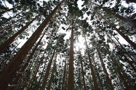 高倉山下部の杉林