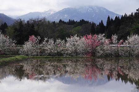 彼岸桜と水田