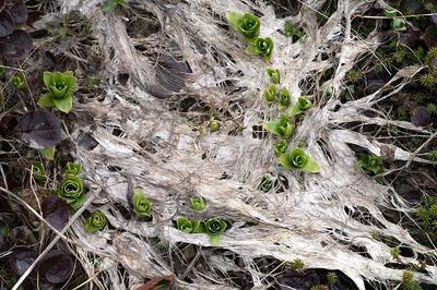 ネバリノギランの芽吹き