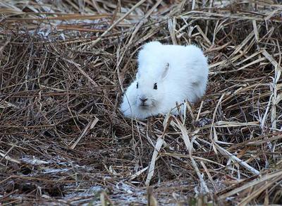 倉ケ嶽の休耕田で見つけたウサギ