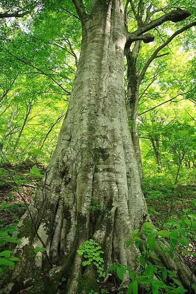 尾添大林の森の巨木