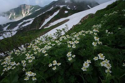 七倉山付近のハクサンイチゲ