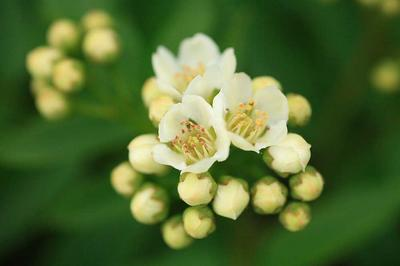 ウラジロナナカマドの花