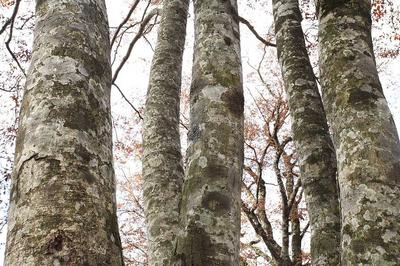 杉峠道のブナ林