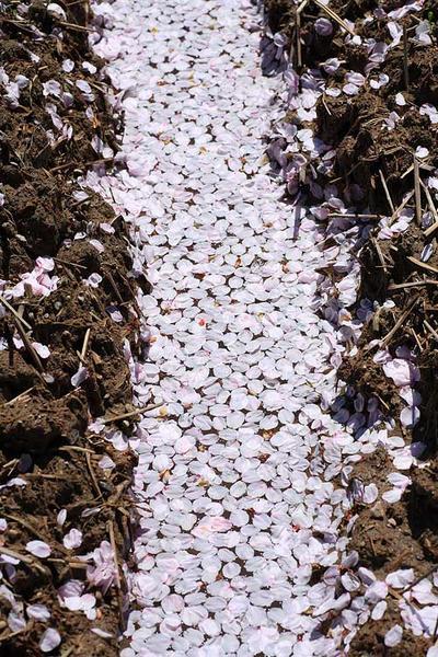吉野の桜は終わり頃でした