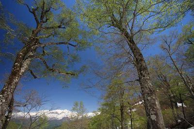 越前禅定道のブナ林から見た白山