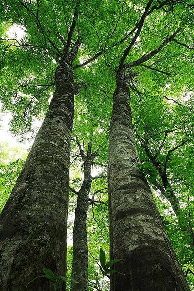 白山釈迦岳中腹のブナ林
