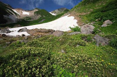 ヒルバオ雪渓のアオノツガザクラ