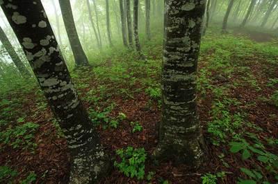 大嵐山のブナ