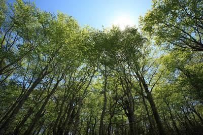 越前禅定道のブナ林