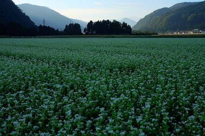 旧鳥越村上野の蕎麦畑 遠くに白山が見える
