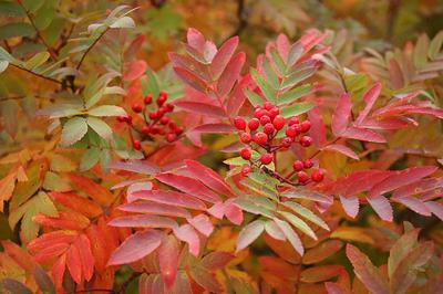紅葉しかかったナナカマド