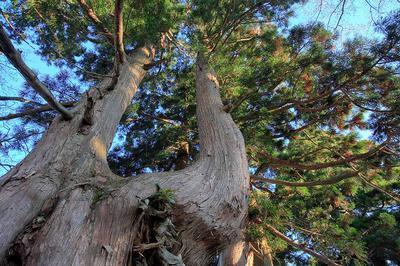 鳴谷山登山道の天然杉