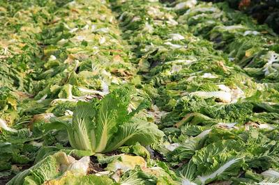 白菜の収穫後
