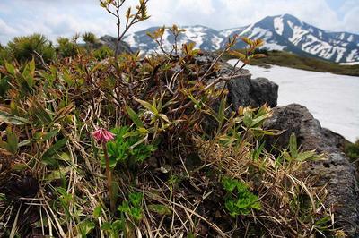 天池付近のショウジョウバカマと四ツ塚山