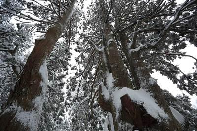 五十谷の大杉