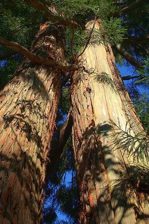 天然杉(HDR処理)