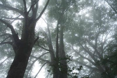加賀新道のブナ林