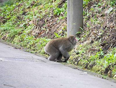 自宅付近に出てきた猿