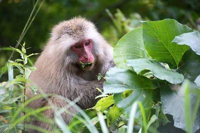 葛の葉っぱを食べています