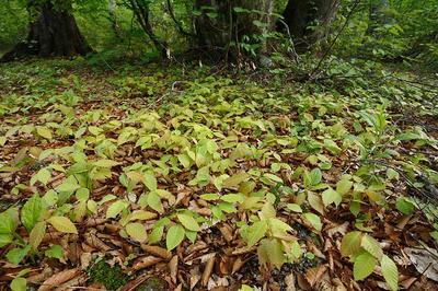 林床のブナ幼木