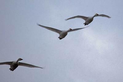 雪の中を飛ぶ白鳥