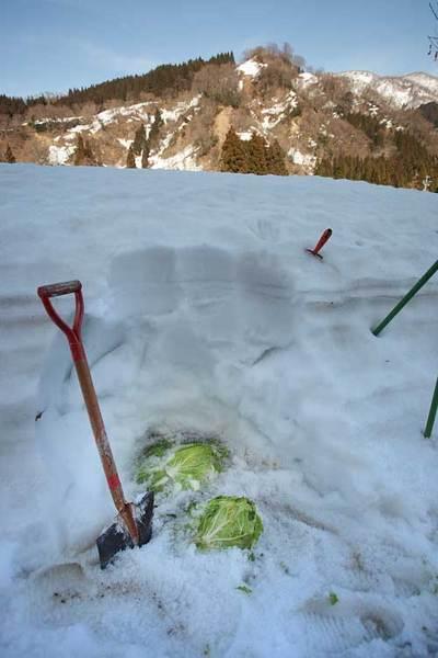 裏の畑で白菜を掘り出しました