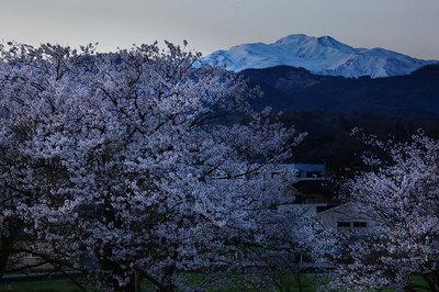 夜明け前の桜と白山